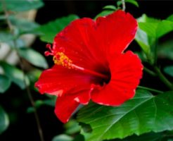 ハイビスカスに似た花の見分け方
